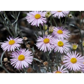 Erigeron - Seeds