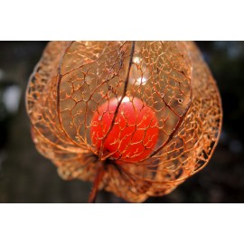 Physalis - Seeds