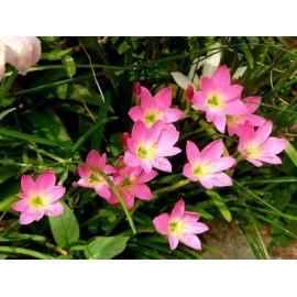 Rain Lily - Seeds