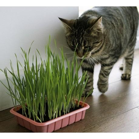 Cat Grass - Seeds