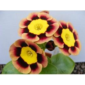 Primula acaulis hybrid - Seeds