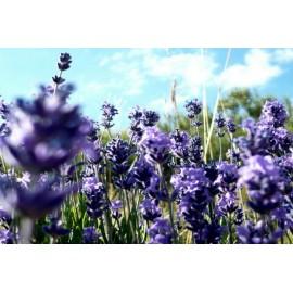 Provence Lavender - Seeds