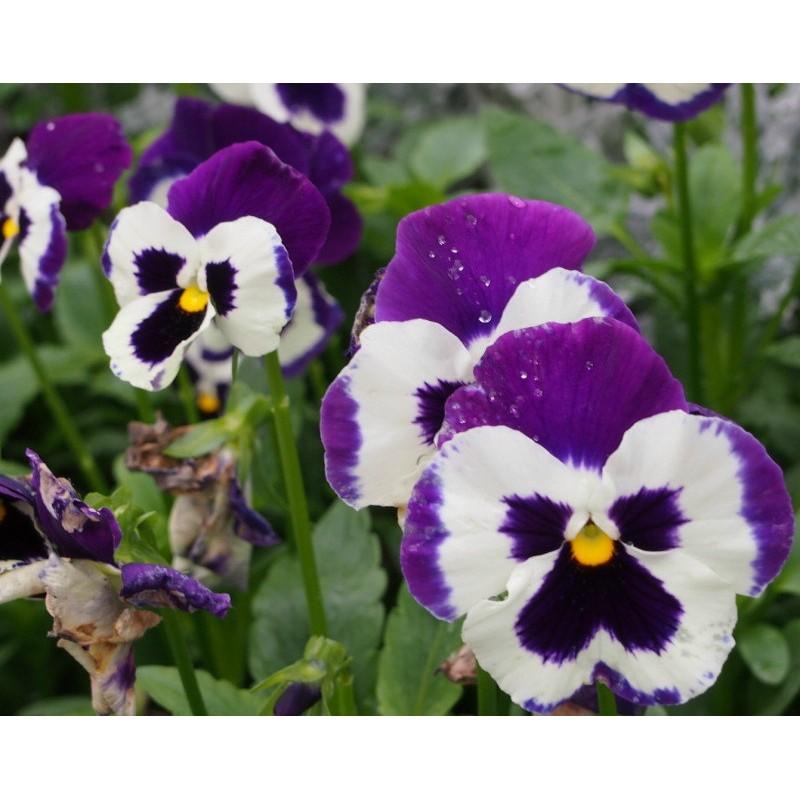 Viola Seeds  Viola Plants  Buy Perennial Viola Flower Seeds Online