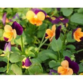 Viola - Seeds
