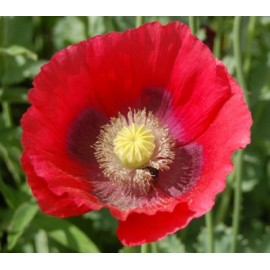 Papaver rhoeas - Seeds