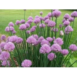 Allium Schoenoprasum - Seeds