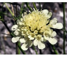Scabiosa - Seeds