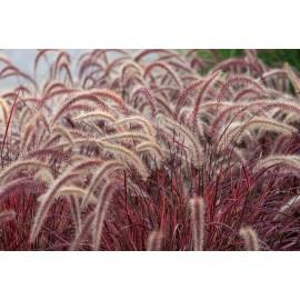 Pennisetum - Seeds