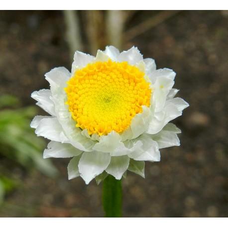 Ammobium - Seeds