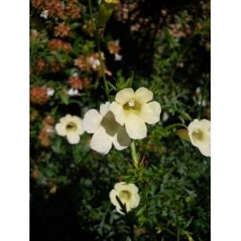 Incarvillea - Seeds