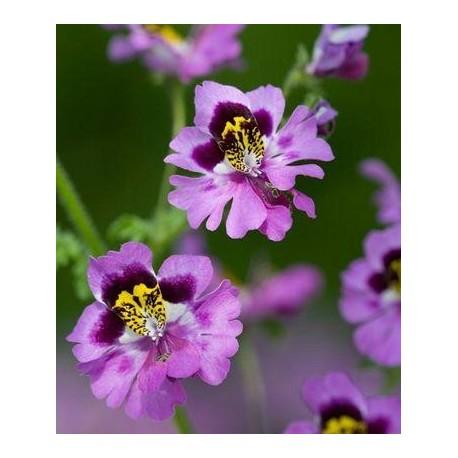 Schizanthus - Seeds