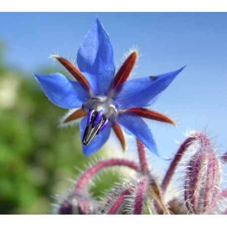 Borage - Seeds