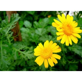 Chrysanthemum coronarium - Seeds