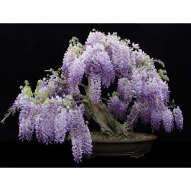 Wisteria Tree - Seeds