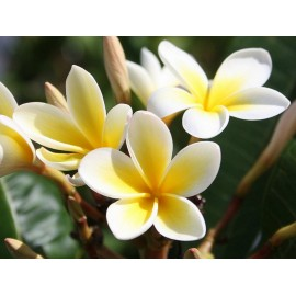 Plumeria (Yellow & White) - Seeds