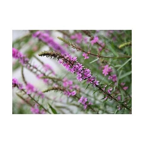 Leonurus - Seeds