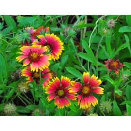 Gaillardia pulchella - Seeds