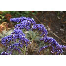Limonium - Seeds