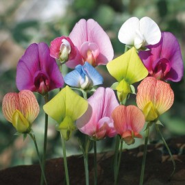 Lathyrus - Seeds