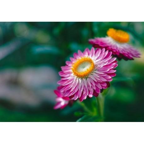 Helichrysum - Seeds