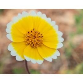 Layia - Seeds