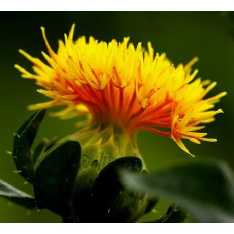 Carthamus Tinctorius - Seeds