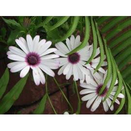 Osteospermum - Seeds