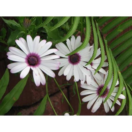 Osteospermum - Seeds