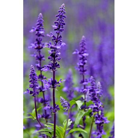 Salvia farinacea Benth - Seeds