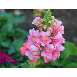 Antirrhinum (Pink) - Seeds