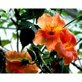 Campsis Grandiflor - Seeds