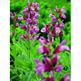 Salvia officinalis - Seeds