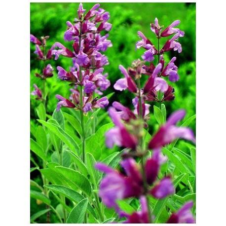 Salvia officinalis - Seeds