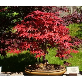 Japanese Red Maple - Seeds