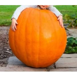 Cucurbita / Giant Pumpkin - Seeds