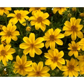 Bidens (Golden) - Seeds