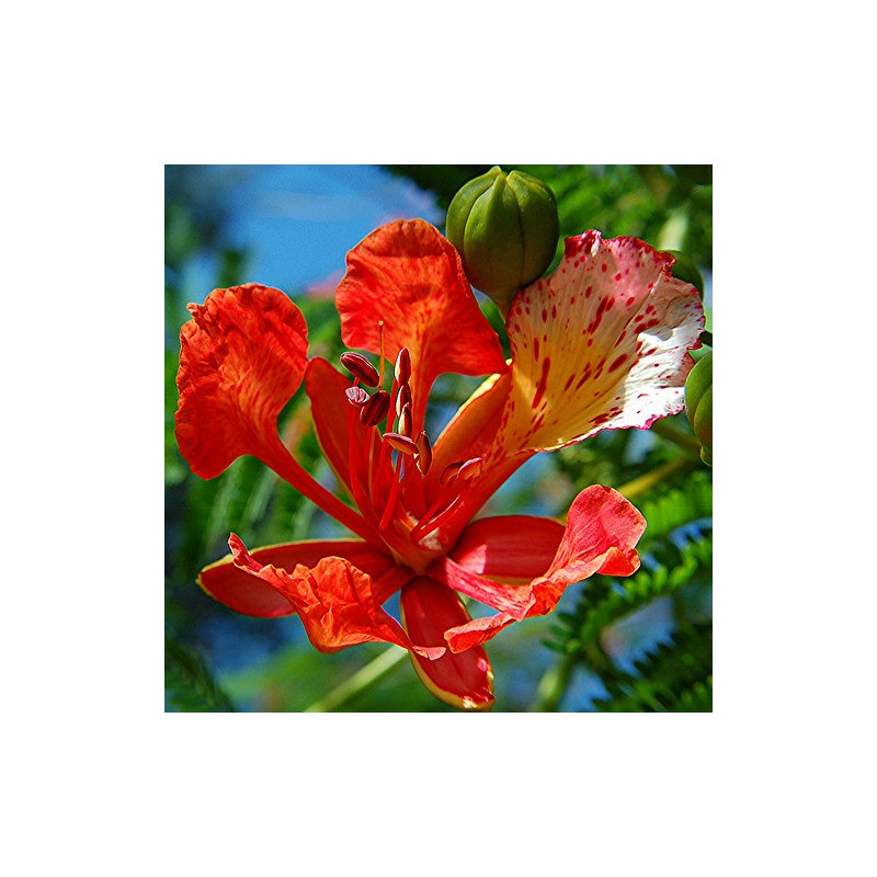 how to grow delonix regia from seed