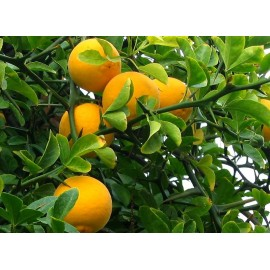 Poncirus citrus trifoliata Fruit - Seeds