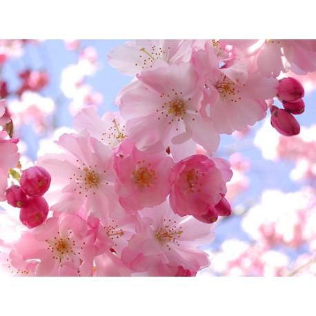 Cherry Tree - Seeds