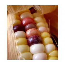 Sweet Corn (Mixed Color)