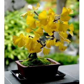Ginkgo biloba - Seeds