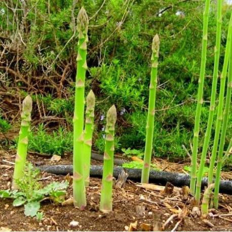 Asparagus F1 - Seeds