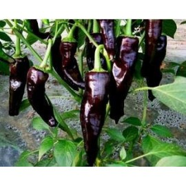 Black/Deep Purple Chili - Seeds