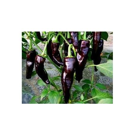 Black/Deep Purple Chili - Seeds