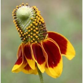 Ratibida Columnifera - Seeds