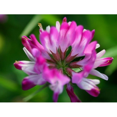 Chinese Milk Vetch / Astragalus - Seeds