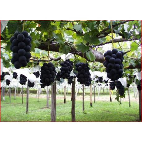 Taiwan Kyoho Grape - Seeds