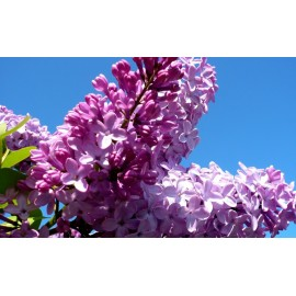 Syringa oblata / Early Lilac - Seeds