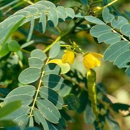 Cassia Seed - Seeds