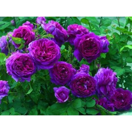 Climbing Rose 100g Approx.10000 Seeds